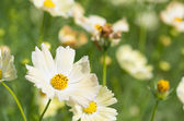 Brisk yellow cosmos flowers — Stock Photo