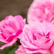Stock Photo: Cute pink rose flower