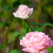 Cute pink rose flower — Foto Stock