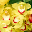 Stock Photo: Many yellow orchid flowers