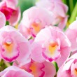 Stock Photo: Many pink orchid flowers