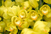 Many yellow orchid flowers — Stock Photo