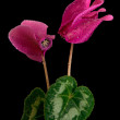 Stock Photo: Cyclamen
