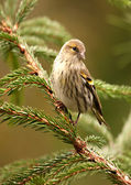 The Siskin — Stock Photo