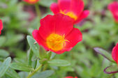 Pink Portulaca oleracea flower. — Stock Photo
