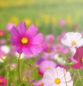 The cosmos flower in daylight — Stockfoto