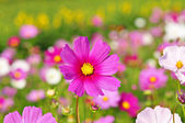 The cosmos flower in daylight  — Stock Photo