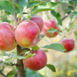 Foto de Stock  : Apple tree