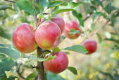 äppelträd — Stockfoto