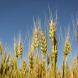 Grain field — Stock Photo #21327135