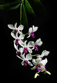 Branch of white orchids on a black background — 图库照片