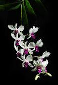 Gren av vita orkidéer på svart bakgrund — Stockfoto