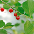 Cherry on branch — Stock Photo