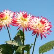 Dahlia red and white — Foto Stock