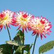 Dahlia red and white — Stok fotoğraf