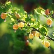 Gooseberries — Foto de Stock