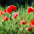 Stock Photo: Poppy flower