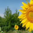 Stock Photo: Blosom sunflowers in a field