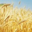 Grain field — Stock Photo #21333199