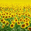 Foto Stock: Field of sunflowers