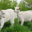 Young  goats — Foto Stock