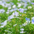CORN-FLOWER FIELD — Stockfoto