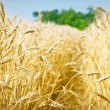 Grain field — Stock Photo #21339537