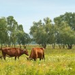 Cows — Stock Photo #21339763