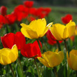 Tulips on a meadow — Stockfoto
