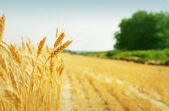Korn fältet — Stockfoto