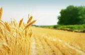 Tahıl alan — Stok fotoğraf