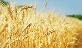 Campo de trigo — Foto de Stock