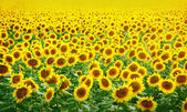 Field of sunflowers — 图库照片