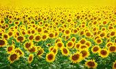 Fält av solrosor — Stockfoto