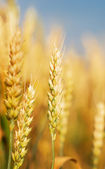 Golden wheat — Stock fotografie