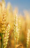 Trigo dourado — Foto Stock