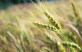 Green rye grain in field — Stok fotoğraf