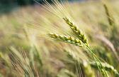 在字段中的绿色黑麦粮食 — 图库照片