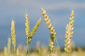 Ryes grain in field — Foto Stock