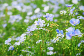 Maïs-bloem veld — Stockfoto
