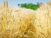 Grain veld — Stockfoto