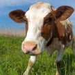 Cow on a meadow — Foto Stock