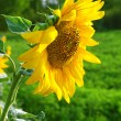 Sunflower — Stockfoto #21344115