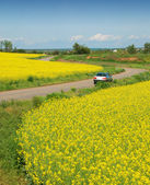 Yellow field of rape and car — Stok fotoğraf