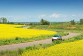 Yellow field of rape and car — Stockfoto