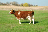 Cow on a meadow — Stockfoto