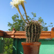 Cactus flowers — Stockfoto