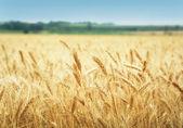 поле зерна — Стоковое фото