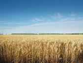 Champ de céréales — Photo