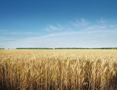 Obilné pole — Stock fotografie